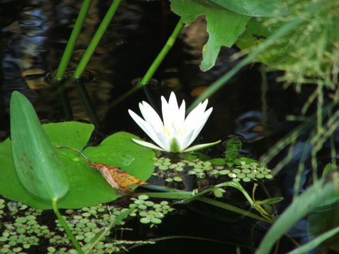 Water Lily at Bird Rookery Swamp