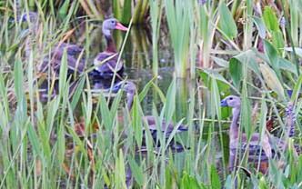 black Black-bellied Whistling Ducks